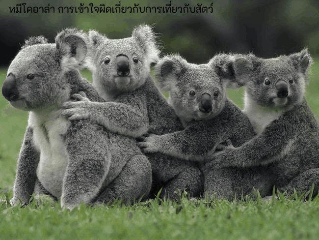 หมีโคอาล่า การเข้าใจผิดเกี่ยวกับการเที่ยวกับสัตว์